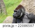 ゴリラ 22086507