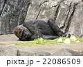 ゴリラ 22086509