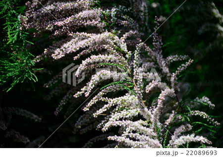 糸魚川真柏・イトイガワシンパクの花 22089693