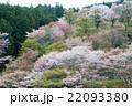 桜 吉野山 吉野桜の写真 22093380