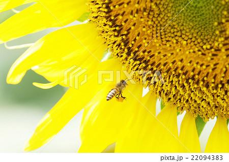 花粉玉を抱えたミツバチ 22094383