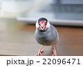 桜文鳥のオス 22096471