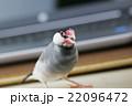 桜文鳥のオス 22096472