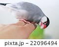 手乗り文鳥 22096494