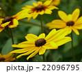 荒毛反魂草 絹傘菊 ルドベキアの写真 22096795