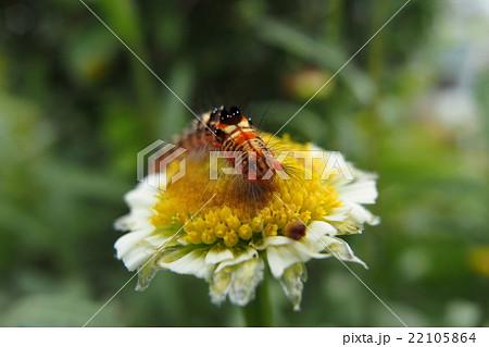 タイワンキドクガの幼虫 22105864