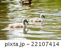水の上を進む白鳥の子供たち 22107414