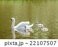 水の上を進む白鳥の親子 22107507