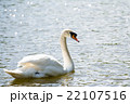 水の上を進む白鳥 22107516