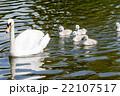 水の上を進む白鳥の親子 22107517
