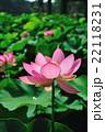 蓮 大賀蓮 花の写真 22118231