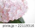ピンクのアジサイの花 22119316