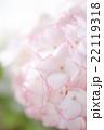 ピンクのアジサイの花 22119318