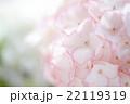 ピンクのアジサイの花 22119319