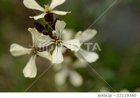 野に咲くルッコラの白い十字の花 22119360