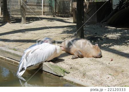 寝そべるモモイロペリカンとカピバラ 22120333