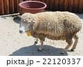 飼育されている羊 22120337