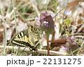 キアゲハの春型 22131275