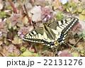 キアゲハの春型 22131276