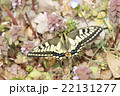 キアゲハの春型 22131277