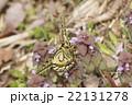 キアゲハの春型 22131278