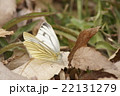 スジグロシロチチョウ 22131279