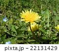 道端では見られない関東タンポポの黄色い花 22131429