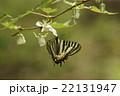 モミジイチゴの花とヒメギフチョウ 22131947