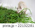 草に噛みつくタイの猫 22132281