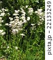 薄いピンクの花はハルジオンの花 22133249