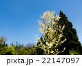 トウカエデ カエデ 植物の写真 22147097