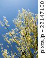 トウカエデ カエデ 植物の写真 22147100