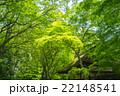 新緑 春 糺の森の写真 22148541