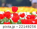 赤いチューリップ 22149256