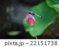 シオカラトンボ 蓮の花 22151738
