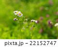 草原のハルジオンの花と若葉に新緑 22152747