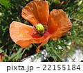 ポピー 22155184