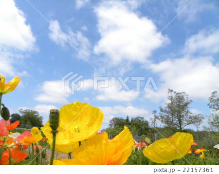 アンデルセン公園のオレンジ色のポピーと青空と白い雲 22157361