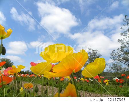 アンデルセン公園のオレンジ色のポピーと青空と白い雲 22157363