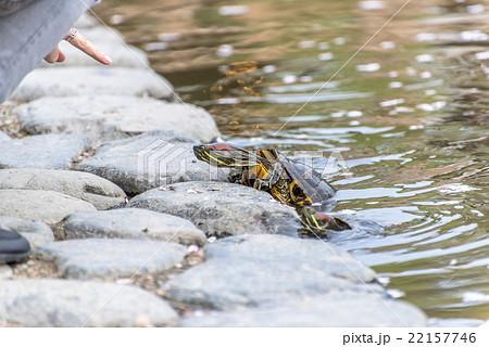 fed turtle 22157746