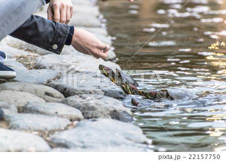 fed turtle 22157750