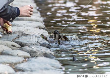 fed turtle 22157752