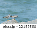 海岸に佇むイソシギ 22159568