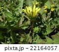 道端では見られない関東タンポポの黄色い花 22164057