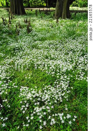4月花 オオアマナ・ユリ科06群生地 22165578
