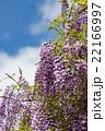 藤棚の花 22166997