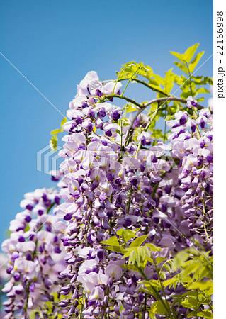 藤の花 アップ 22166998
