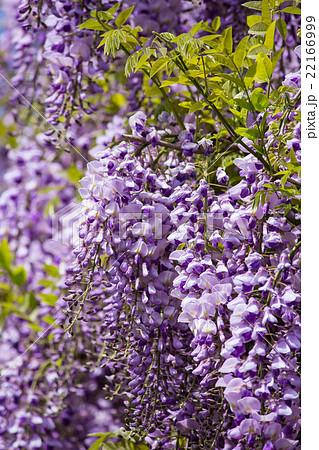 藤の花2 22166999