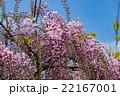 ピンク色の藤 22167001