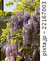 連なる藤の花1 22167003